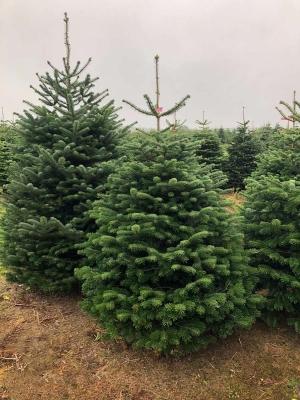 Premium Nordmann Fir Christmas Tree